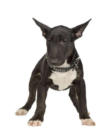 Bull Terrier (5 months) in front of a white background Stock Photo