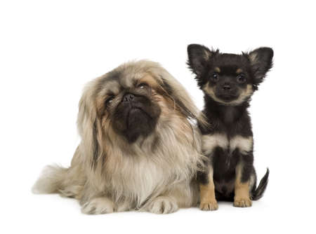 pekingese: a Pekingese and a chihuahua in front of a white background