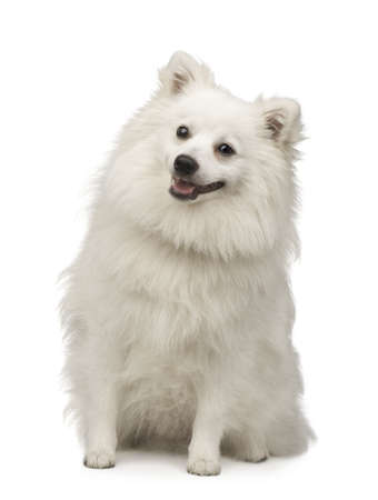 pomeranian: Keeshond (10 months) in front of a white background