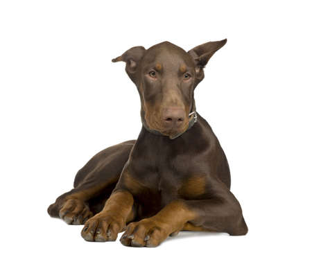 pinscher: Doberman Pinscher (4 months) in front of a white background