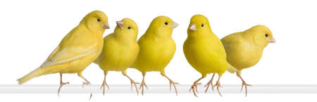Flock of Yellow canary - Serinus canaria on its perch in front of a white background photo