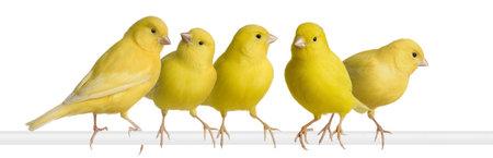 zwerm vogels: Koppel van de gele kanarie - Serinus canaria op haar baars ten overstaan van een witte achtergrond