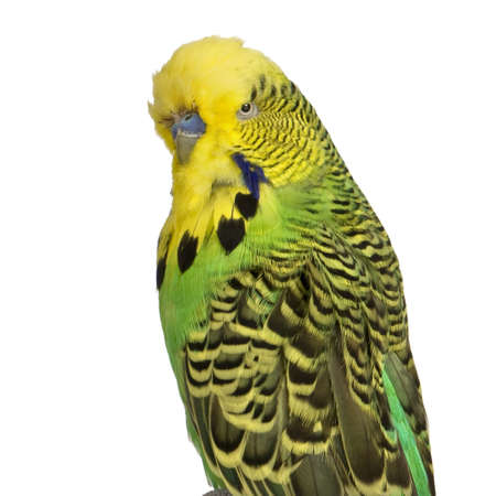 budgerigar: Budgerigar in front of a white background