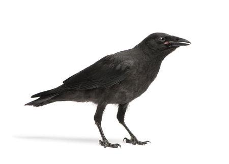 corvus: J�venes Carri�n Crow - Corvus corone (3 meses) delante de un fondo blanco