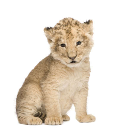 weeks: Lion Cub (6 weeks) in front of a white background