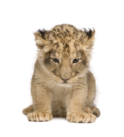 lion cub: Lion Cub (6 weeks) in front of a white background
