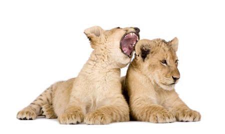 snarl: Lion Cub (4 months) in front of a white background