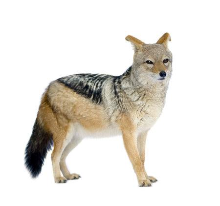 vertebrates: black-backed jackal () - Canis mesomelas in front of a white background