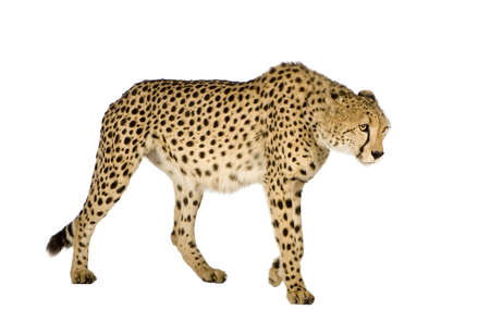 jubatus: Cheetah - Acinonyx jubatus in front of a white background