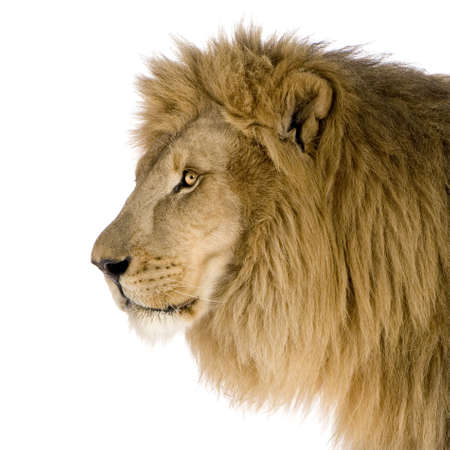 side profiles: Lion (8 years) - Panthera leo in front of a white background