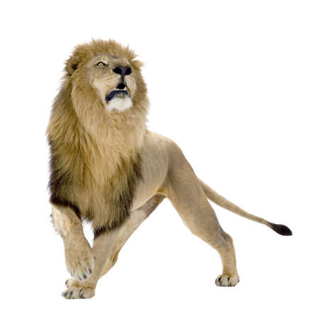 white tail: Lion (8 years) - Panthera leo in front of a white background