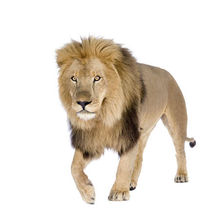 standing lion: Lion (8 years) - Panthera leo in front of a white background