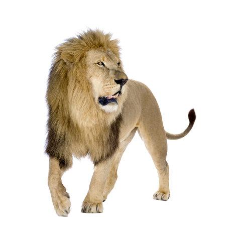leones: Le�n (8 a�os) - Panthera leo delante de un fondo blanco