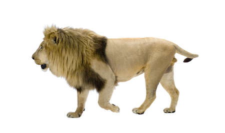 prowling: Lion (8 years) - Panthera leo in front of a white background