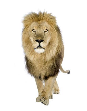 panthera: Lion (8 anni) - Panthera leo di fronte a uno sfondo bianco