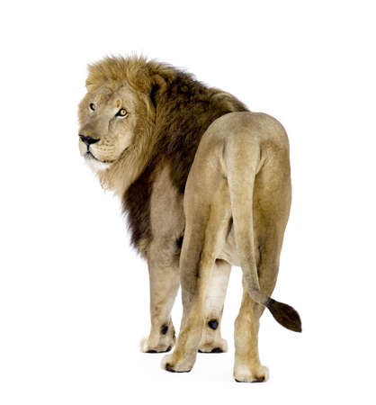 furry tail: Lion (8 years) - Panthera leo in front of a white background