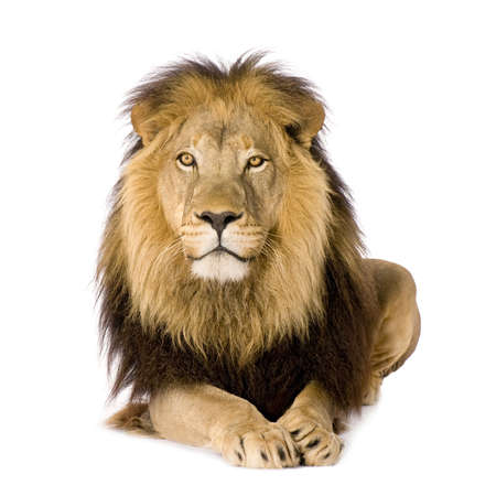 of lions: Le�n (4 a�os y medio) - Panthera leo delante de un fondo blanco