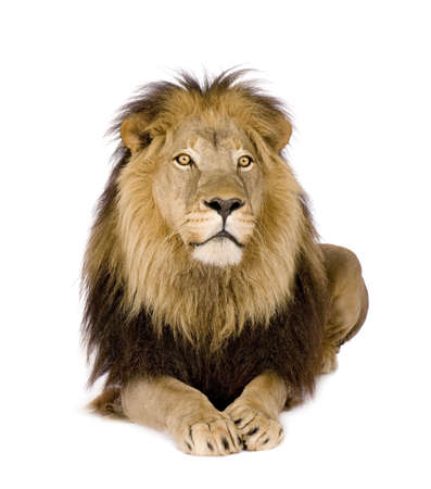 white lion: Lion (4 and a half years) - Panthera leo in front of a white background Stock Photo
