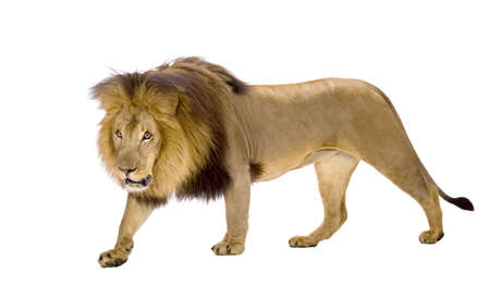 prowling: Lion (4 and a half years) - Panthera leo in front of a white background Stock Photo