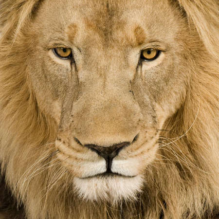Close-up on a Lions head (4 and a half years) - Panthera leo in front of a white background Stock Photo