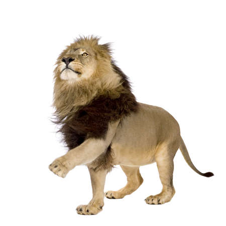 standing lion: Lion (4 and a half years) - Panthera leo in front of a white background Stock Photo