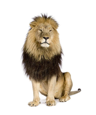 panthera: Lion (4 and a half years) - Panthera leo in front of a white background Stock Photo