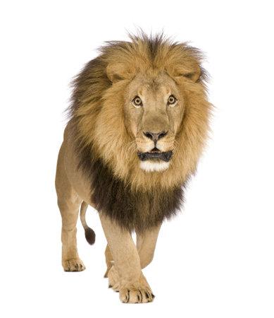 panthera leo: Le�n (8 a�os) - Panthera leo delante de un fondo blanco