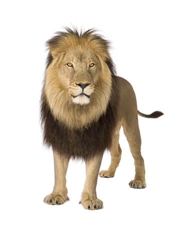 panthera leo: Lion (4 and a half years) - Panthera leo in front of a white background Stock Photo