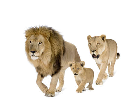 female lion: Lions family in front of a white background Stock Photo