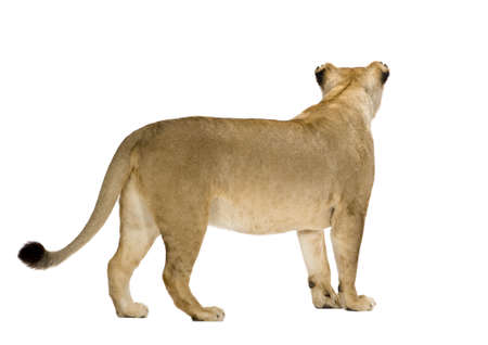 furry tail: Lioness (8 years) - Panthera leo in front of a white background Stock Photo