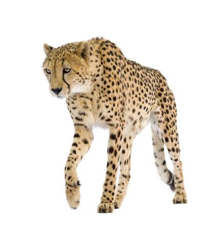 Cheetah - Acinonyx jubatus vor einem weißen Hintergrund