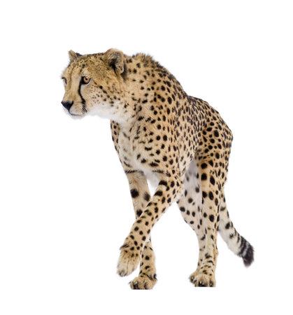 guepardo: Cheetah - Acinonyx jubatus delante de un fondo blanco  Foto de archivo