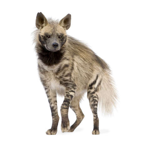 whelp: Striped Hyena in front of a white background Stock Photo
