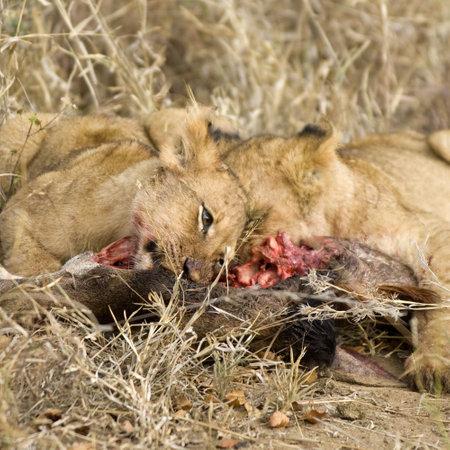 pride of lion eating a giraffe photo