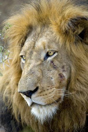 panthera leo: Cabeza de le�n, Panthera leo en la naturaleza