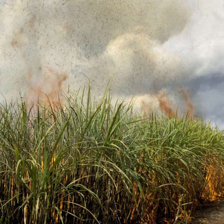sugarcane: Sugarcane field Stock Photo