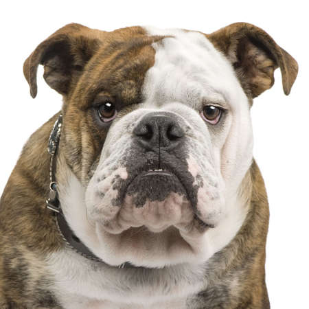 ugliness: english Bulldog (6 months) in front of a white background