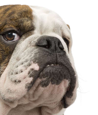 english bulldog: english Bulldog (6 months) in front of a white background
