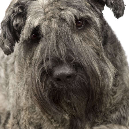 cattle guard: Bouvier des Flandres () in front of a white background