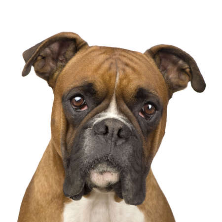 boxer dog: Boxer (2 years) in front of a white background