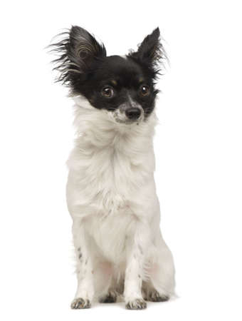 long haired chihuahua: long haired chihuahua (9 months) in front of a white background