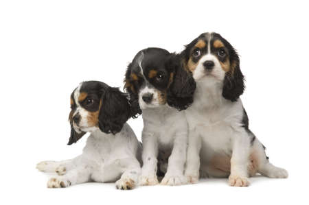 Cavalier King Charles Spaniel (3 months) in front of a white background