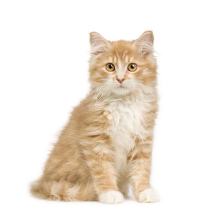weeks: Siberian cat (12 weeks) in front of a white background