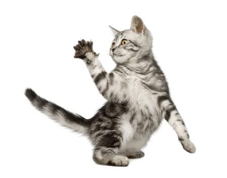 gato jugando: Gato siberiano (12 semanas) delante de un fondo blanco