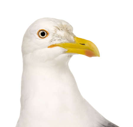larus: Herring Gull - Larus argentatus (3 years) in front of a white background Stock Photo