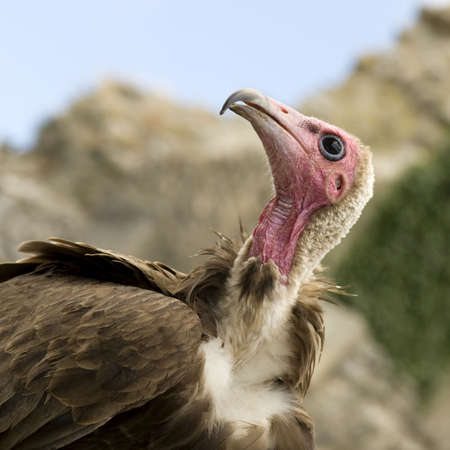 turkey vulture: Turkey Vulture - Cathartes aura -  in front of a white background
