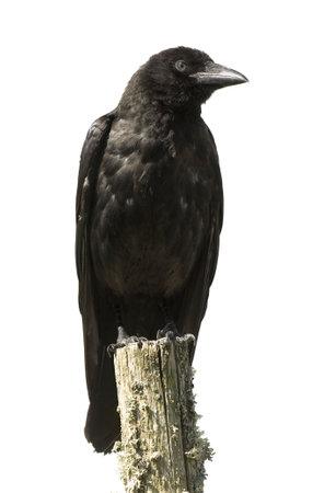 corvus: J�venes Carri�n Crow - Corvus corone (4 meses) delante de un fondo blanco