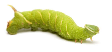 Lime Hawk-moth caterpillar - Mimas tiliae in front of a white background Stock Photo - 3430048