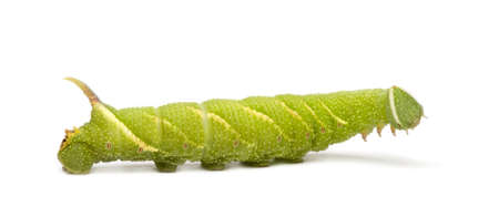 Lime Hawk-moth caterpillar - Mimas tiliae in front of a white background Stock Photo - 3430081