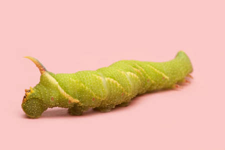 mimas: Lime Hawk-moth caterpillar - Mimas tiliae in front of a pink background